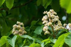 Kastanjebruna blommor Kastanjebrunt slut för filial upp Vit kastanjebrun blomma Royaltyfri Foto