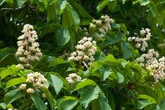 Kastanjebruna blommor Kastanjebrunt slut för filial upp Vit kastanjebrun blomma Arkivfoto