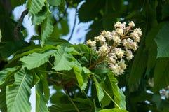 Kastanjebruna blommor Kastanjebrunt slut för filial upp Vit kastanjebrun flowe Royaltyfri Foto