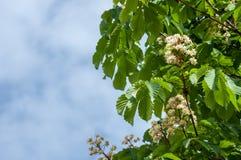 Kastanjebruna blommor Kastanjebrunt slut för filial upp Vit kastanjebrun flowe Arkivfoton
