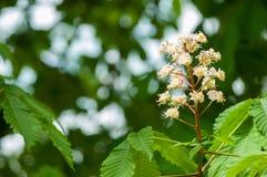 Kastanjebruna blommor Kastanjebrunt slut för filial upp Vit kastanjebrun flowe Royaltyfria Foton