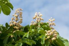 Kastanjebruna blommor Kastanjebrunt slut för filial upp Vit kastanjebrun flowe Fotografering för Bildbyråer