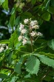 Kastanjebruna blommor Kastanjebrunt slut för filial upp Vit kastanjebrun flowe Arkivfoto