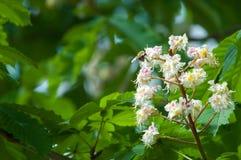 Kastanjebruna blommor Kastanjebrunt slut för filial upp Vit kastanjebrun flowe Royaltyfri Bild