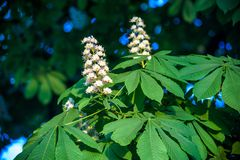 Kastanjebruna blommor Kastanjebrunt slut för filial upp Vita kastanjblommor som fotograferas mot bakgrunden av frodiga gröna sido Royaltyfria Bilder