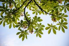 Kastanjebruna blommor Kastanjebrunt slut för filial upp Vita kastanjblommor som fotograferas mot bakgrunden av frodiga gröna sido Royaltyfri Bild