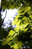kastanjebruna defocused leaves för bakgrund Arkivfoton