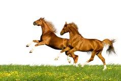 kastanjebruna hästar isolerade två Arkivbilder