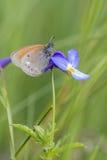 Kastanjebruna Heath Butterfly arkivbilder