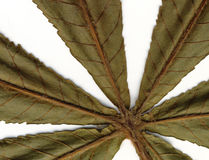 kastanjebruna leafs Royaltyfria Bilder