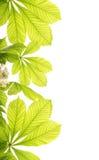 kastanjebruna nya leafs Fotografering för Bildbyråer