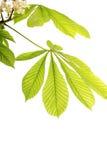 kastanjebruna nya leafs Royaltyfria Foton