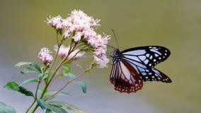 Kastanjebruna Tiger Butterfly arkivbilder