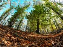 Kastanjebruna träd i höst Royaltyfri Foto