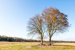 Kastanjebruna träd i nedgången Fotografering för Bildbyråer