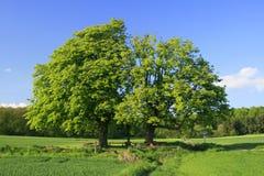 kastanjebruna trees Fotografering för Bildbyråer