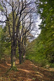 kastanjebruna trees Arkivbild