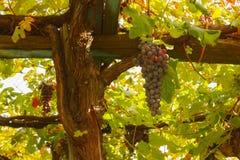 Kastanjebruna wood poler med en grupp av druvor Arkivbild