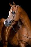 Kastanjebrunt hästhuvud på mörk bakgrund Arkivbild