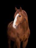 Kastanjebrunt hästhuvud på svart Royaltyfria Foton