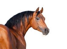 Kastanjebrunt hästhuvud som isoleras på vit bakgrund. Arkivfoton