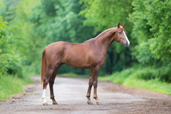 Kastanjebrunt hästanseende på en väg Arkivbild