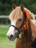 Kastanjebrunt skjutit hästhuvud Fotografering för Bildbyråer