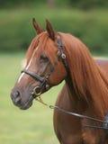 Kastanjebrunt skjutit hästhuvud Royaltyfria Bilder