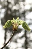 Kastanjebrunt träd Royaltyfria Bilder