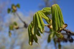 Kastanjebrunt träd  Royaltyfri Fotografi