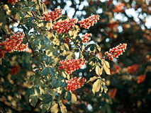 Kastanjebrunt träd för häst Arkivfoto