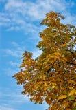 Kastanjebrunt träd för häst Royaltyfri Foto