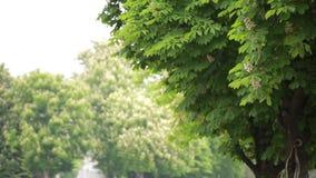 Kastanjebrunt träd, i sommar och att blåsa för vind stock video