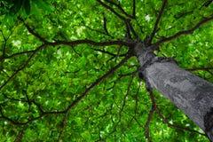 Kastanjebrunt träd underifrån Royaltyfri Bild