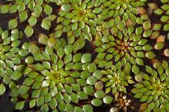 kastanjebrunt växtvatten royaltyfria bilder