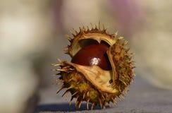 Kastanjeclose-up in shell Royalty-vrije Stock Afbeeldingen