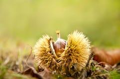 Kastanjefruit ter plaatse Stock Foto