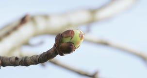 Kastanjeknoppen in de lente stock videobeelden