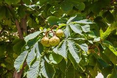 Kastanjen bär frukt på ett träd Royaltyfri Fotografi