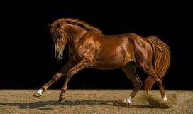 Kastanjepaard Stock Afbeelding