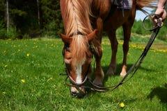 Kastanjepaard die gras eten stock afbeelding