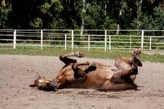 Kastanjepaard die in het zand rollen Royalty-vrije Stock Fotografie