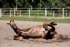 Kastanjepaard die in het zand rollen Stock Foto's