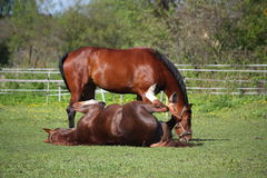 Kastanjepaard die op het gras in de zomer rollen Royalty-vrije Stock Foto
