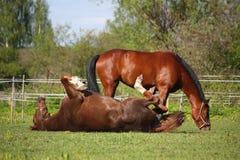 Kastanjepaard die op het gras in de zomer rollen Stock Foto's