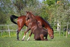 Kastanjepaard die op het gras in de zomer rollen Royalty-vrije Stock Afbeeldingen