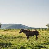 Kastanjepaard die zich in een Weiland met Bergen op de Achtergrond bevinden Stock Foto