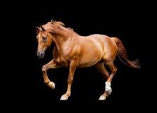 Kastanjepaard draven geïsoleerd op zwarte achtergrond Royalty-vrije Stock Afbeeldingen