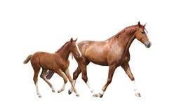 Kastanjepaard en zijn leuk veulen die snel lopen royalty-vrije stock afbeelding