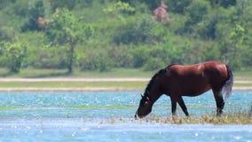 Kastanjepaard het weiden op de kust van een groot meer stock video